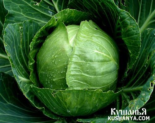 Фото История и разновидности капусты
